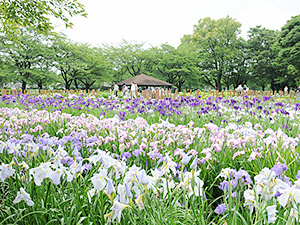 色鮮やかな約270種の花菖蒲=つつじが岡第二公園 館林花菖蒲園